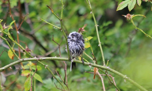 190719 long-tailed tit (3)