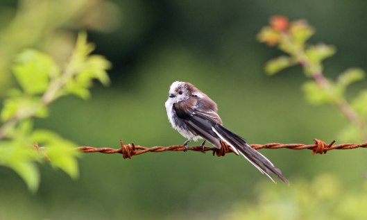 190719 long-tailed tit (4)
