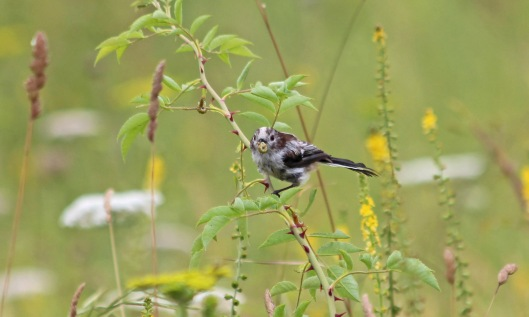 190719 long-tailed tit (6)