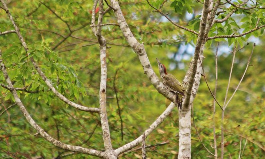 190722 green woodpecker (1)