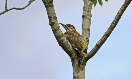 190722 green woodpecker (2)