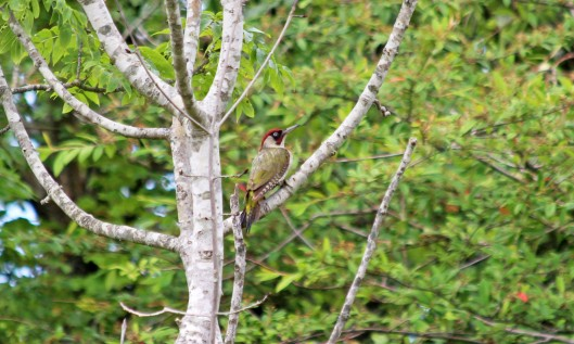 190722 green woodpecker (3)