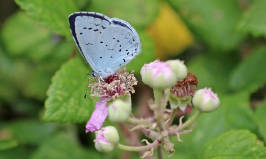190723 summer holly blue (1)