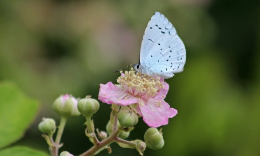 190723 summer holly blue (3)