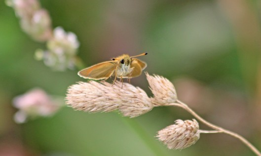 190725 Essex skipper Grangemoor (1)