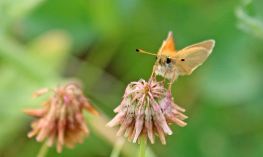 190725 Essex skipper Grangemoor (2)