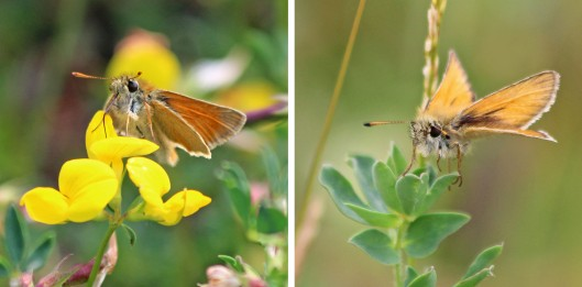 190725 small and essex skippers antennae