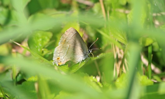 190726 purple hairstreak