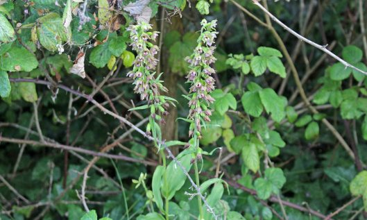 190728 broad-leaved helleborines (1)
