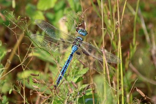190729 emperor dragonfly