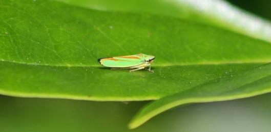 190730 Rhodo leafhopper (1)