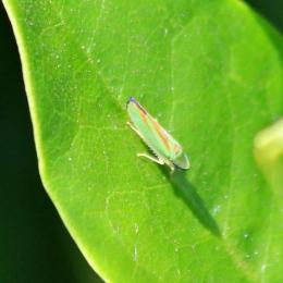 190730 Rhodo leafhopper (2)