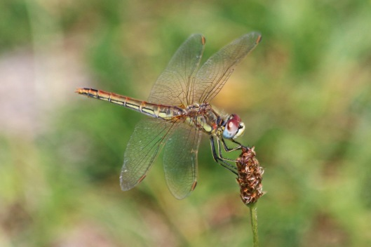 190802 red-veined darter (1)