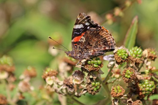 190803 red admiral