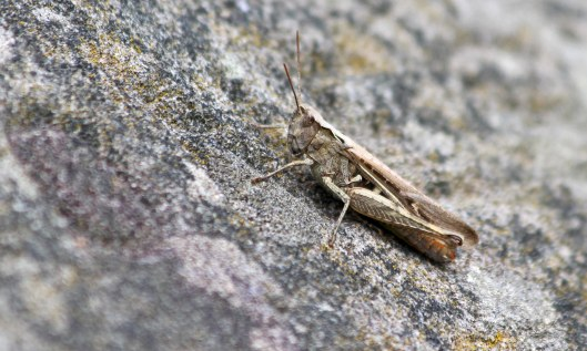190806 common field grasshopper (1)