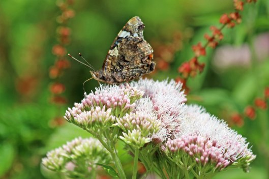190807 red admiral