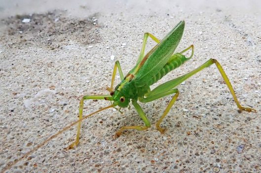 190808 oak bush-cricket (2)