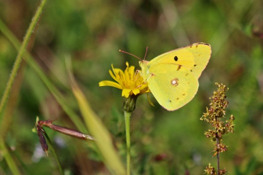 190811 clouded yellow (2)