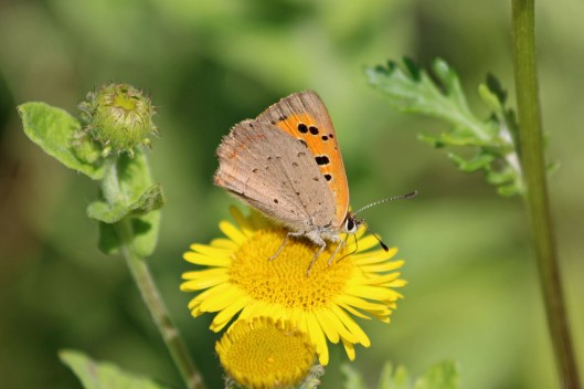 190818 small copper (1)