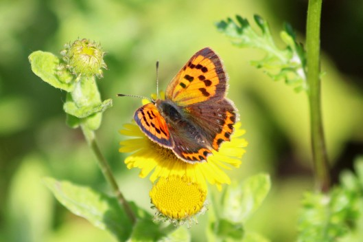 190818 small copper (2)