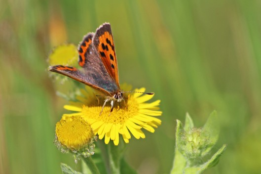 190818 small copper (3)
