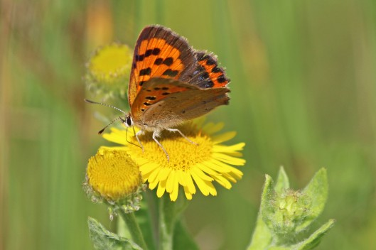 190818 small copper (4)