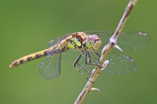 190819 common darter female