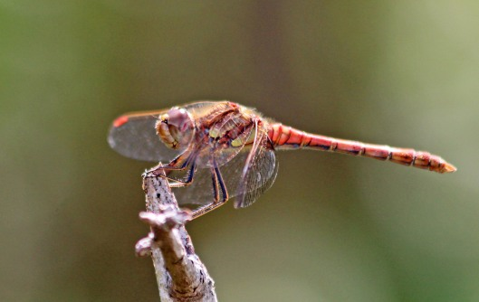 190819 common darter male
