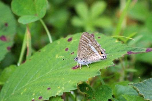 190820 Long-tailed blue (1)
