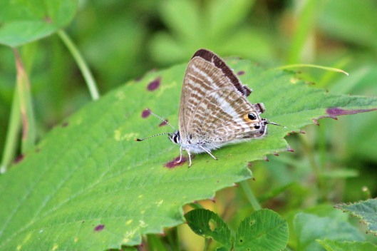 190820 Long-tailed blue (2)