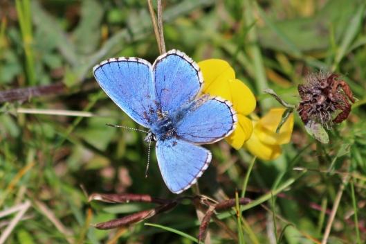 190821 adonis blue (3)