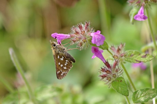 190822 silver-spotted skipper (1)