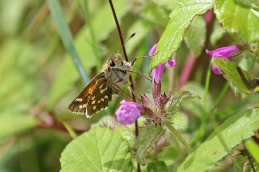 190822 silver-spotted skipper (3)