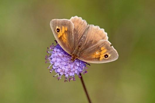 190828 meadow brown