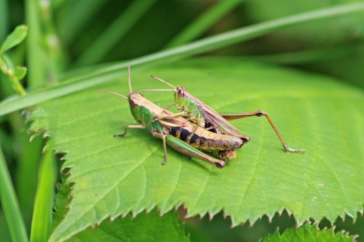 190830 Common green grasshopper (1)