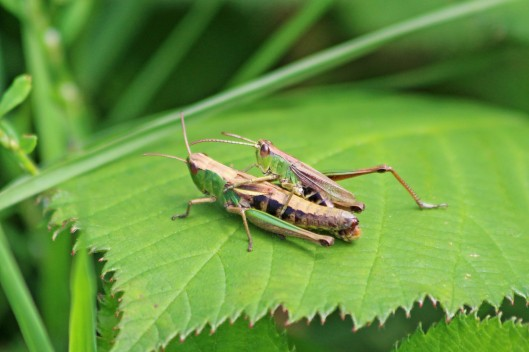 190830 Common green grasshopper (2)