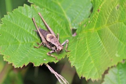 190901 dark bush-cricket (1)