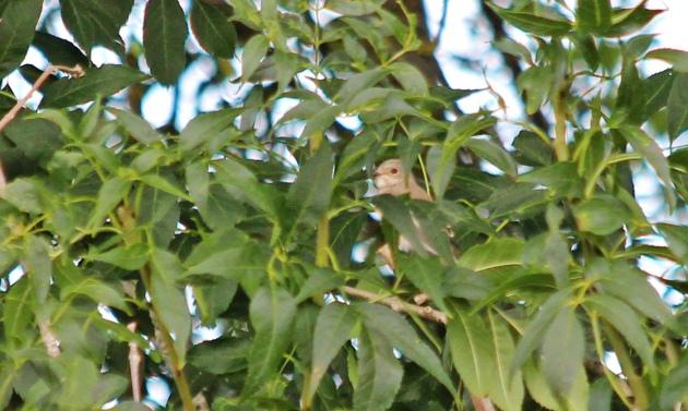 164 spotted flycatcher