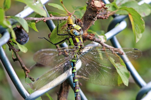 190904 southern hawker (1)
