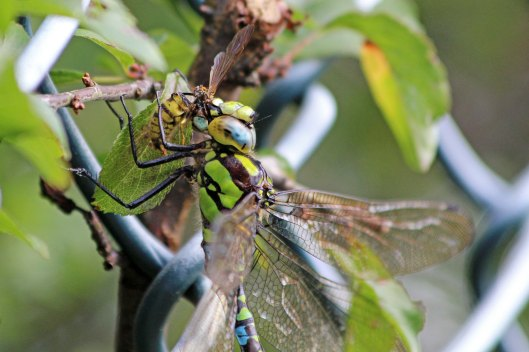 190904 southern hawker (2)