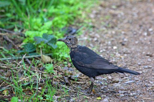 190905 blackbird (1)
