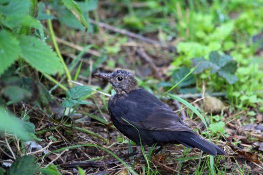 190905 blackbird (2)