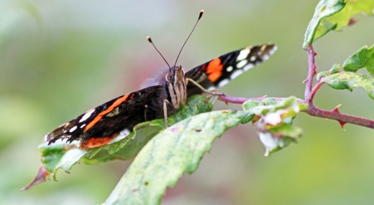 190911 red admiral (1)