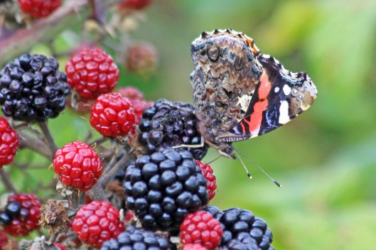 190911 red admiral (2)