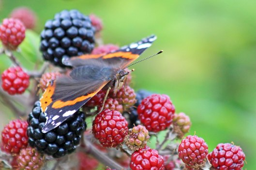 190911 red admiral (3)