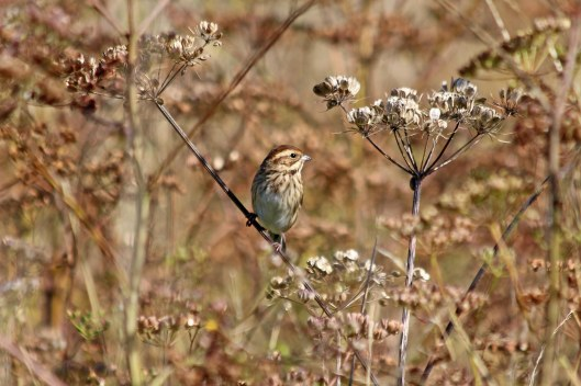 190913 reed bunting (1)