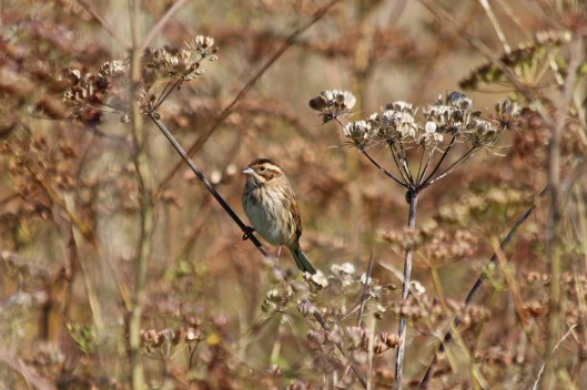 190913 reed bunting (2)