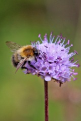 190916 bumbles on scabious (1)