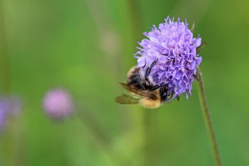 190916 bumbles on scabious (2)