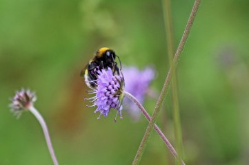 190916 bumbles on scabious (3)